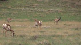 Troupeau d'antilope de Pronghorn dans l'ornière Image stock