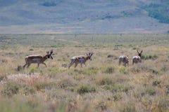 Troupeau d'antilope marchant dans le désert photo libre de droits