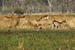 Troupeau d'antilopes de Lechwe Images libres de droits