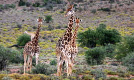 Troupeau d'approche de giraffe Images libres de droits
