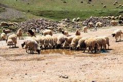Troupeau d'eau potable de chèvres de montagne Photos stock