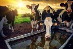 Troupeau d'eau potable de jeunes veaux Photo stock