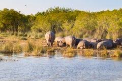 Troupeau d'hippopotames dormant, parc de marécage d'Isimangaliso, Afrique du Sud images libres de droits