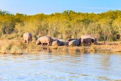 Troupeau d'hippopotames dormant, parc de marécage d'Isimangaliso, Afrique du Sud Photographie stock libre de droits