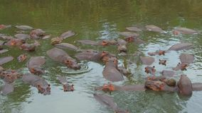 Troupeau d'hippopotames en rivière de Mara chez l'Afrique clips vidéos