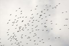 Troupeau d'IBIS brillant montant au-dessus des marais en Floride images libres de droits