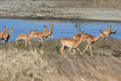 Troupeau d'Impala Photo stock