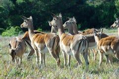Troupeau d'Impala Photos libres de droits