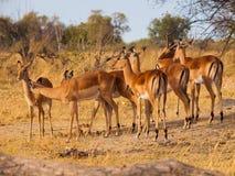 Troupeau d'impala Photographie stock libre de droits