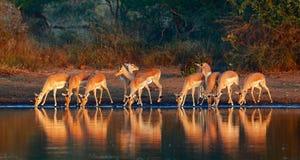 Troupeau d'impala avec des réflexions dans l'eau photo stock