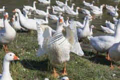 Troupeau d'oies blanches frôlant près d'un étang. Images libres de droits