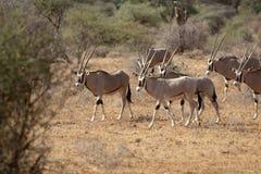 Troupeau d'Oryx Image stock