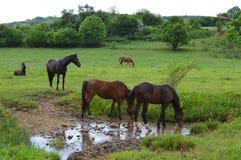 Troupeau de arrosage de chevaux sur le pâturage Image libre de droits