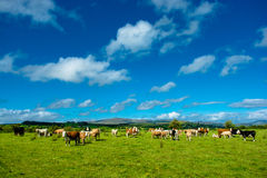 Troupeau de bétail sur Sunny Pasture Photos libres de droits