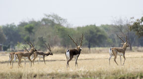 Troupeau de Blackbuck images stock
