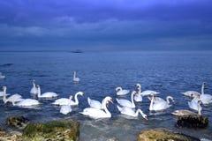 Troupeau de bord de la mer des cygnes Photographie stock libre de droits