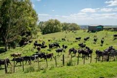 Troupeau de bovins à une ferme Photographie stock