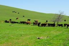 Troupeau de bovins et côtes herbeuses Photo stock
