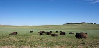Troupeau de Buffalo américain Images libres de droits
