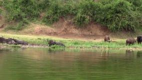 Troupeau de Buffalo de cap à la rive banque de vidéos