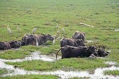 Troupeau de Buffalo d'eau indiens Image stock