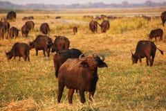Troupeau de buffle africain dans la savane Image libre de droits