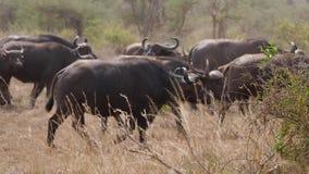 Troupeau de buffle africain marchant sur une savane poussiéreuse pendant la saison sèche banque de vidéos