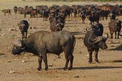 Troupeau de buffles africains en parc national de Kruger, Afrique du Sud image stock
