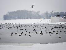 Troupeau de canard Photographie stock