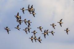 Troupeau de canard siffleur d'Eursasian Photos stock