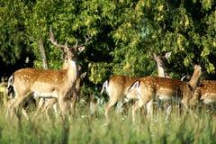 Troupeau de cerfs communs affrichés Images libres de droits