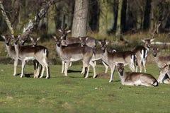 Troupeau de cerfs communs affrichés Photographie stock