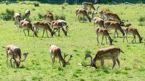 Troupeau de cerfs communs affrichés Image libre de droits