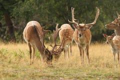 Troupeau de cerfs communs affrichés dans une clairière Photo libre de droits