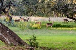 troupeau de cerfs communs Blanc-coupé la queue Photos libres de droits