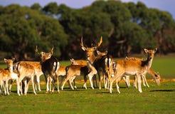 Troupeau de cerfs communs d'axe Images libres de droits