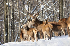 Troupeau de cerfs communs dans la neige Image stock