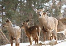 Troupeau de cerfs communs dans la neige Photos stock