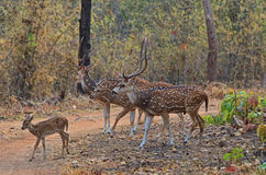 Troupeau de cerfs communs de Chital Photos libres de droits