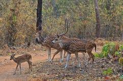 Troupeau de cerfs communs de Chital photos libres de droits
