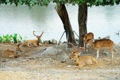 Troupeau de cerfs communs en parc Photographie stock libre de droits