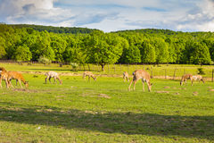 Troupeau de cerfs communs frôlant dans le domaine vert, la Transcarpathie Image libre de droits