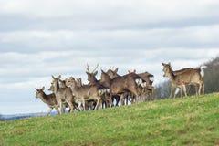 Troupeau de cerfs communs passant par photographie stock libre de droits