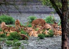 Troupeau de cerfs communs repérés photos stock