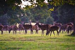 Troupeau de cerfs communs rouges dans l'automne d'automne Photographie stock