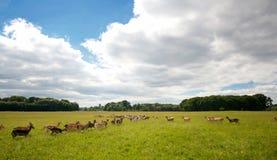 Troupeau de cerfs communs sauvage en Dublin Phoenix Park Photographie stock libre de droits