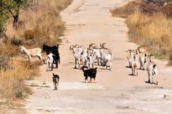Troupeau de chèvre Photo libre de droits