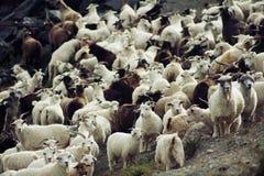 Troupeau de chèvre Photos libres de droits