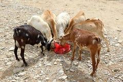Troupeau de chèvre en Ethiopie mangeant d'un sachet en plastique Image libre de droits
