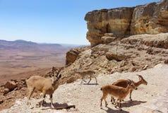 Troupeau de chèvres de montagne Photos libres de droits